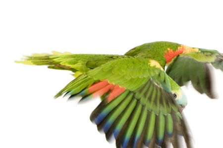 Blue-fronted Amazon in front of a white background photo