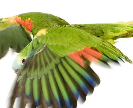 Blue-fronted Amazon in front of a white background