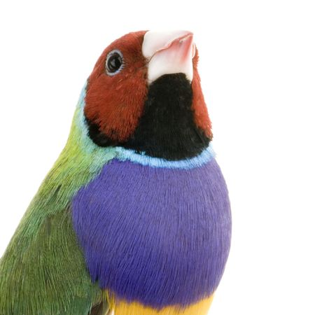 Gouldian Finch in front of a white background photo
