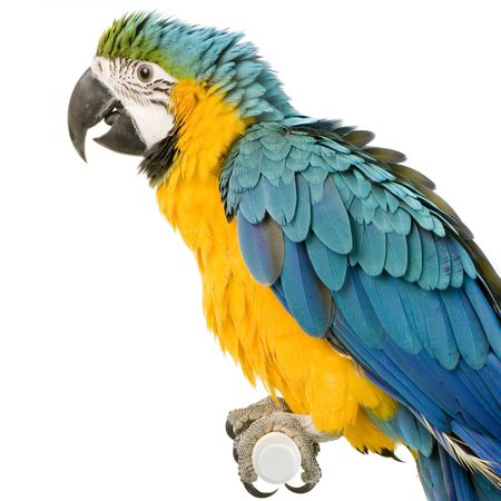 Blue-and-yellow Macaw in front of a white background Stock Photo - 854840