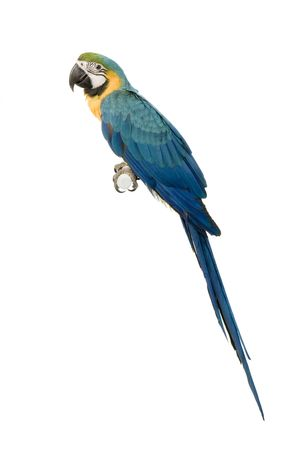 blue parrot: Blue-and-yellow Macaw in front of a white background