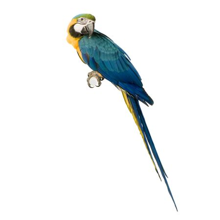 macaw: Blue-and-yellow Macaw in front of a white background