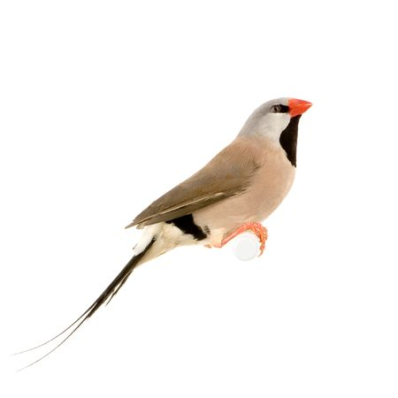 finch: Long-tailed Finch in front of a white background Stock Photo