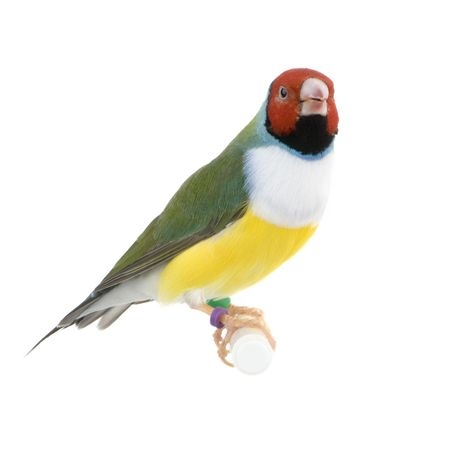 Gouldian Finch in front of a white background