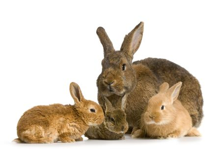 reproduction animal: Mother Rabbit with her new born bunny in front of a white background Stock Photo