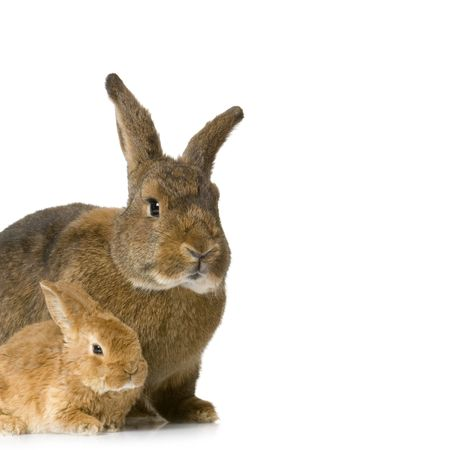 Mother Rabbit with her new born bunny in front of a white background Stock Photo - 854603