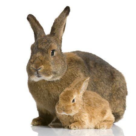 Mother Rabbit with her new born bunny in front of a white background Stock Photo - 854573