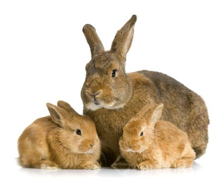 Mother Rabbit with her new born bunny in front of a white background Stock Photo - 854570