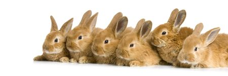reproduction animal: group of bunnies in front of a white background