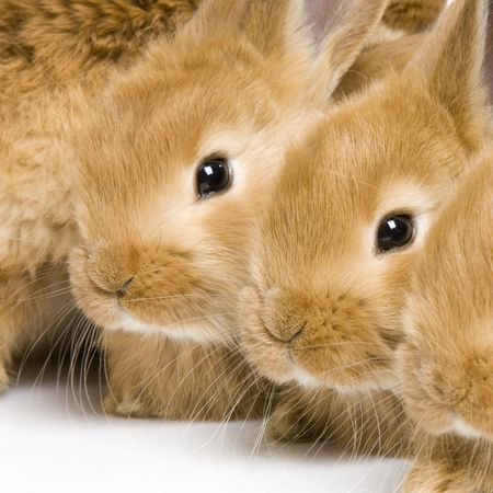reproduction animal: close-up on a group of bunnies in front of a white background