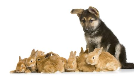 german shepherd puppy: german shepherd puppy garding group of bunnies in front of a white background