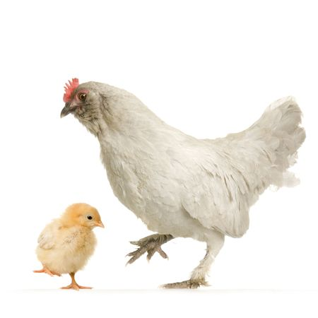 Hen and her chick in front of a white background Stock Photo