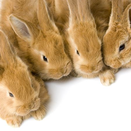 close-up on a group of bunnies in front of a white background photo