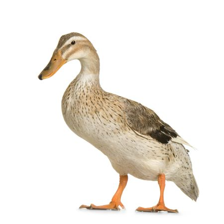 domestic duck:  in front of a white background Stock Photo