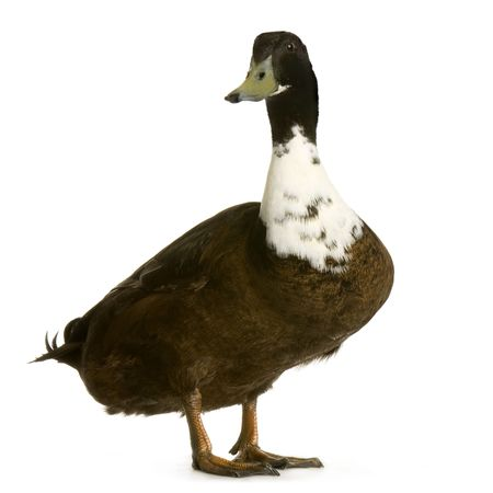 domestic duck: Drake in front of a white background Stock Photo
