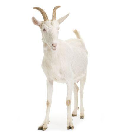 cabras: De pie de cabra hasta aislado en un fondo blanco Foto de archivo