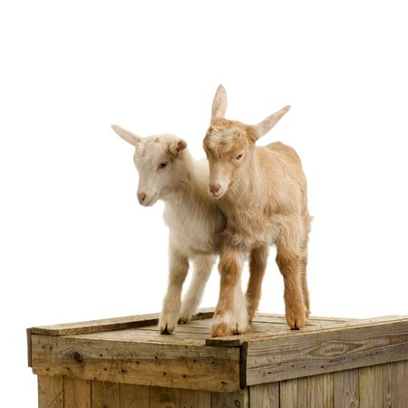caprine: Goats standing up isolated on a white background Stock Photo