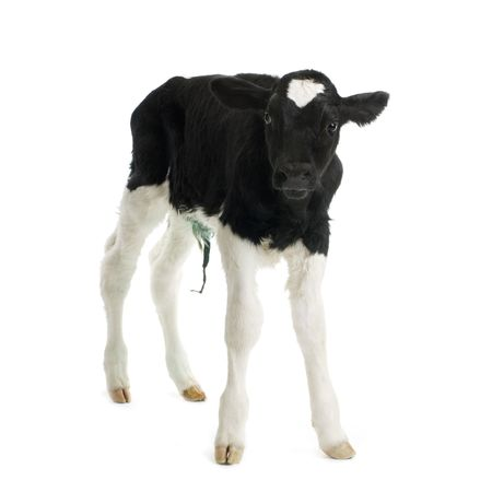 calf in front of a white background Stock Photo