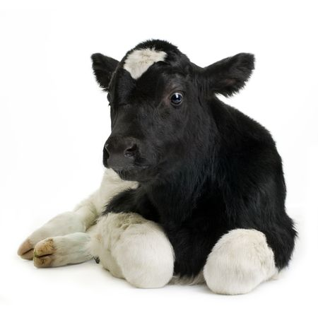 veal: calf in front of a white background Stock Photo
