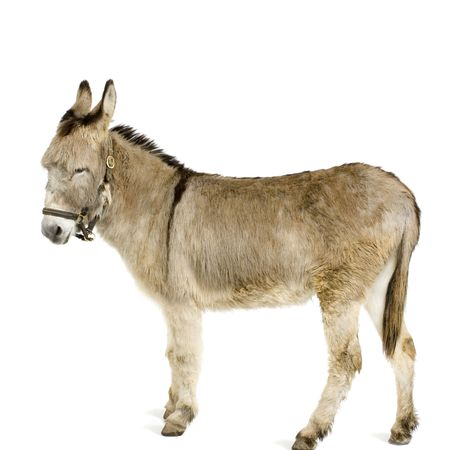 jack ass: donkey in front of a white background