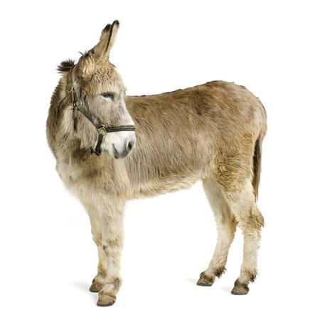 jenny: donkey in front of a white background