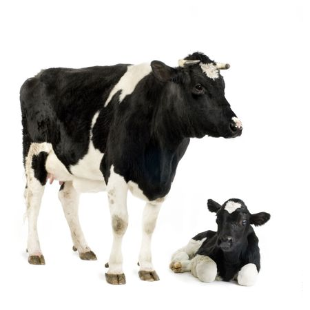 dairy cow: Calf and his mother in front of a white background Stock Photo