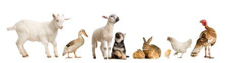 PATO: los animales de granja delante de un fondo blanco  Foto de archivo