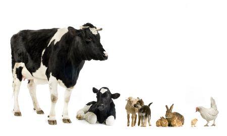 animales de granja: Delante de un fondo blanco  Foto de archivo
