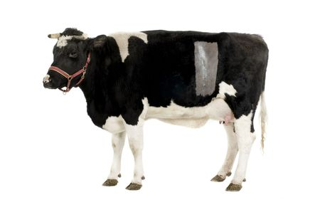 cow in front of a white background.  We can see the stichches of the Caesarean photo