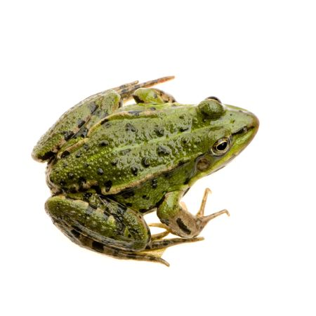 wetness: Edible Frog in front of a white background