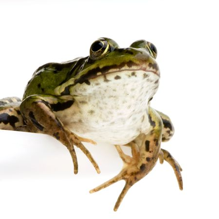 frog prince: Edible Frog in front of a white background
