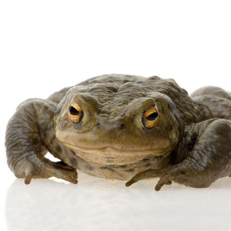 Crapaud commun photographi� devant un fond blanc Stock Photo - 872048