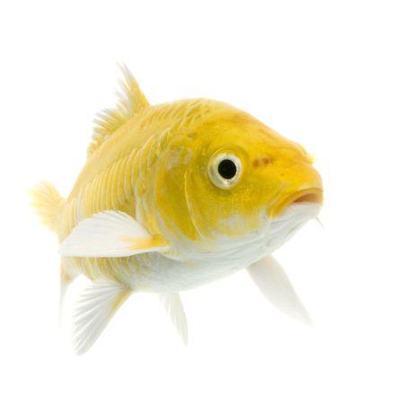 submersion: Ko� - YAMABUKI OGON swimming in front of a white background Stock Photo