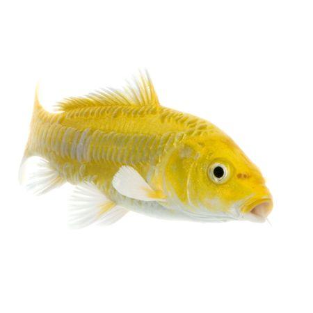 caudal: Ko� - YAMABUKI OGON swimming in front of a white background Stock Photo