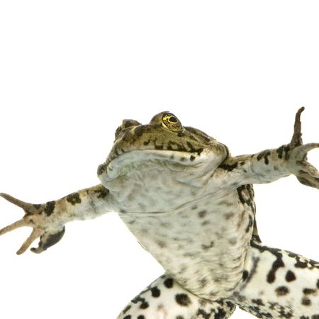 Shot of a frog surfacing in front of a white background photo
