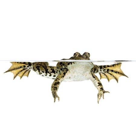 wetness: Shot of a frog surfacing in front of a white background