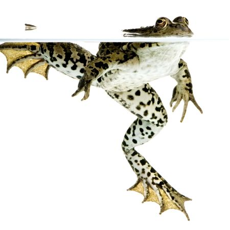 small reptiles: Sparato di una rana che emerge davanti una priorit� bassa bianca Archivio Fotografico