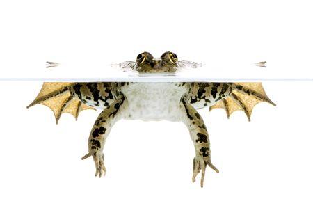 linea de flotaci�n: Foto de una rana en la superficie frontal de un fondo blanco  Foto de archivo