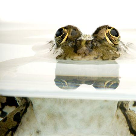 linea de flotaci�n: Foto de una rana en la superficie frontal de un fondo blanco