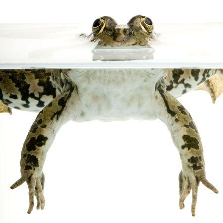 linea de flotaci�n: Foto de una rana surgiendo delante de un fondo blanco