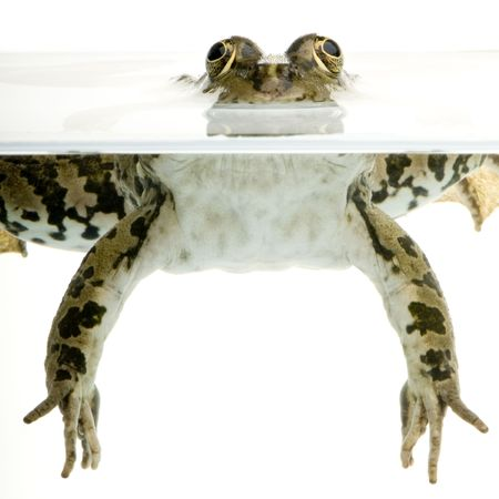 globular: Shot of a frog surfacing in front of a white background