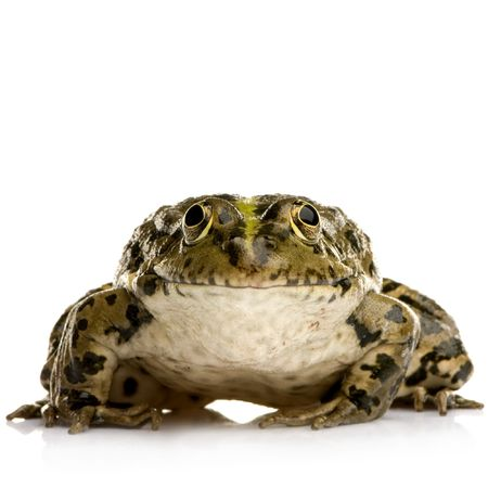 wetness: Marsh Frog in front of a white background
