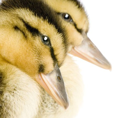 Duckling in front of a white background Stock Photo - 925740
