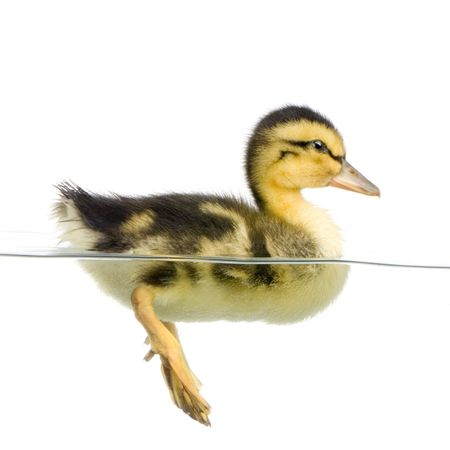 Duckling floating on water in front of a white background photo