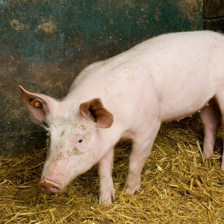 Pig in a shed Stock Photo - 925859