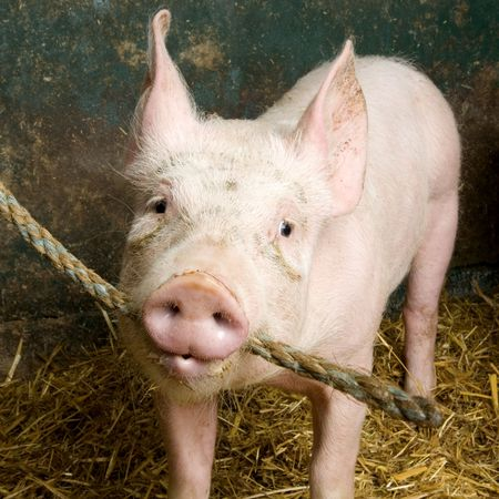 Pig in a shed Stock Photo - 925861