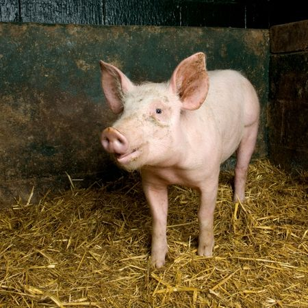 Pig in a shed Stock Photo - 925862