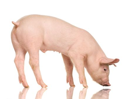 Pig in front of a white background Stock Photo - 925900