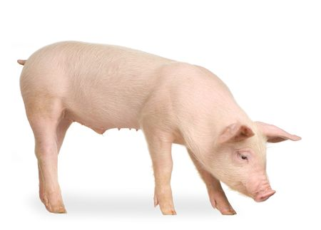 Pig in front of a white background