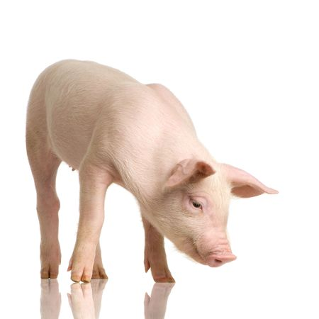 Pig in front of a white background Stock Photo - 925905